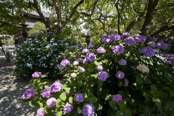 本覚寺のあじさい。梅雨の晴れ間とあじさい。本覚寺のあじさいは株は大きく、花はとても端正。
