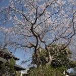 本覚寺の枝垂桜が頭上を覆います。御分骨堂とともに。