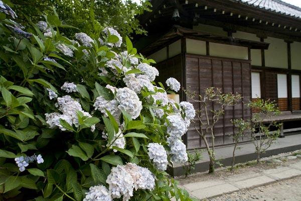 光則寺本堂側面のあじさい。