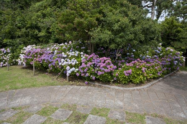 稲村ケ崎海浜公園のあじさい。ホンアジサイが多いのでボリューム感があります。