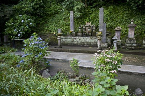 妙本寺のあじさい。比企一族の墓前には霊を弔うかのように咲きます。