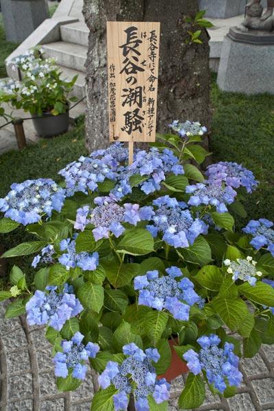 長谷寺のあじさい。長谷寺にて命名された新種の紫陽花。長谷の潮騒(しおさい)。作出:加茂花菖蒲園。