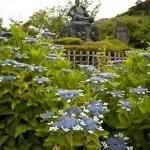 源氏山公園のあじさい。源頼朝像のお膝元に咲きます。
