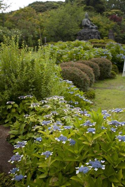 源氏山公園のあじさい。源頼朝像の周囲に咲く源氏山公園のあじさいは控えめな感じがかえって花をひきたてています。
