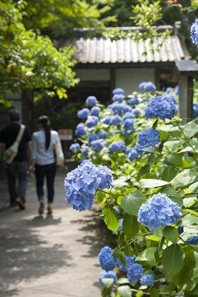 明月院のあじさい。拝観受付の前から明月院ブルーが迎えてくれます。