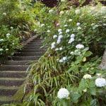 妙本寺のあじさい。妙本寺梵鐘への登る階段にさくあじさい。