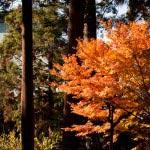 杉木立の中、鮮やかな紅葉に陽射しが見事でした。円覚寺の広い境内ならではの空気感。