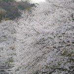 鶴岡八幡宮の桜。源平池に向かって伸びる大木。