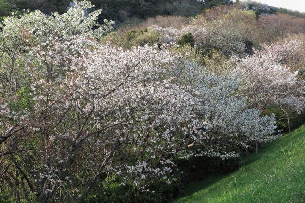 ハイランドを上がりきると、名越切通口あたりに富士見公園があります。桜がとてもきれいです。大島桜もみられます。