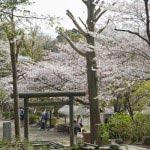 源氏山公園とともに葛原岡神社付近は桜の名所です。この鳥居の先、何十メートルか歩くと右手に日野俊基の墓があります。