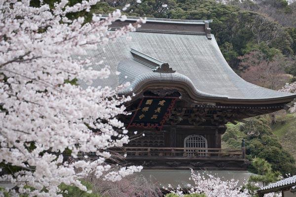桜の名所 建長寺
