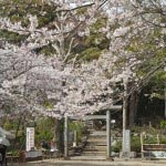 源氏山の桜。葛原岡神社前です。