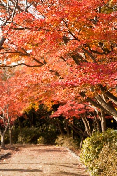 頼朝像の後ろの歩道を紅葉が囲んでいます。
