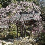 海蔵寺。山門側の枝垂梅は特に見事。庭全体の空間設計の見事さから、数本の見事な梅はさらに引き立てられます。まるで絵のようです。