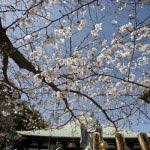 長勝寺の桜。日蓮上人に教えを乞うがごとくに伸びています。