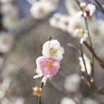 宝戒寺。白梅の中に稀に交じる桃色の花を咲かせる「想いのまま」。