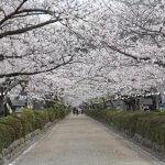 平成26年〜28年に行われた改修前の段葛の桜。