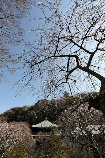 瑞泉寺。大きく2か所に分かれて数十本の梅の古木があります。最も有名な梅の名所といってもいいでしょう。