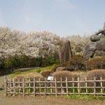 源氏山の桜。源頼朝像の眼前に桜が広がります。