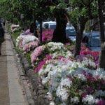 平成26年改修前の段葛。桜並木の袂に躑躅が植えられていました。