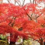 ダイナミックな紅葉が源氏山の魅力。