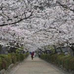 段葛の桜。季節には見物客で賑わいます。