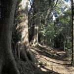 天園ハイキングコース瑞泉寺〜獅子舞上合流地点間。大木をみながら歩みます。