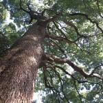 天園ハイキングコース瑞泉寺〜獅子舞上合流地点間。大木を見上げます。