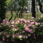 鶴岡八幡宮の躑躅(ツツジ)。
