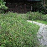 浄光明寺の萩。