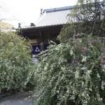 宝戒寺の萩(ハギ)。本堂前を埋め尽くすように萩があります。