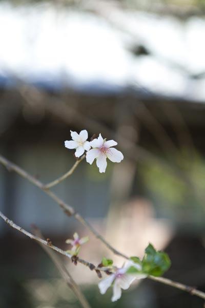 瑞泉寺の冬桜(フユザクラ)。