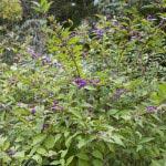 円覚寺の小紫(コムラサキ)。寒気が合うので11月以降が楽しみです。