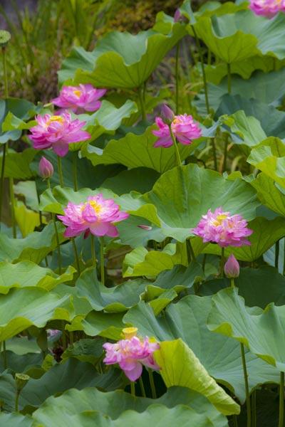光明寺の蓮(ハス)。二千年前の美から発芽した太古の蓮です。開花は7月中旬~8月上旬です。