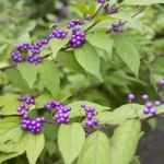 円覚寺の小紫(コムラサキ)。境内奥の黄梅院にありました。