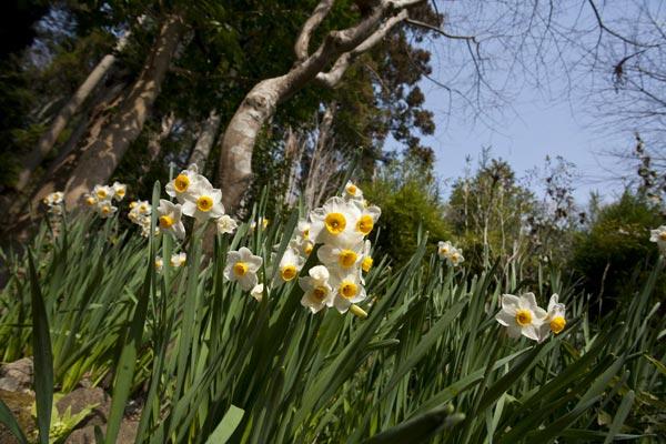 浄智寺の水仙。本堂裏手に咲いていました。