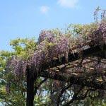 光触寺の藤。光触寺は十二所にある時宗の寺院。