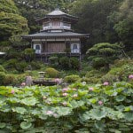 光明寺の蓮(ハス)。法然上人800年大御忌を期して建てられた記手庭園に咲きます。
