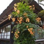 海蔵寺の凌霄花(ノウゼンカズラ)。本堂右手、朱の傘と足下の桔梗(キキョウ)に挟まれた場所に咲きます。