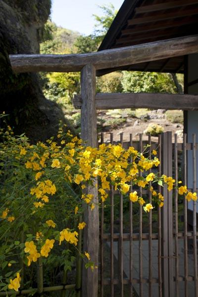 海蔵寺の山吹(ヤマブキ)。本堂左手、池と岩壁に挟まれた場所に咲いています。