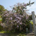 別願寺の藤。別願寺は大町にあります。足利持氏の供養塔があり鎌倉公方の菩提寺として栄えた歴史があります。