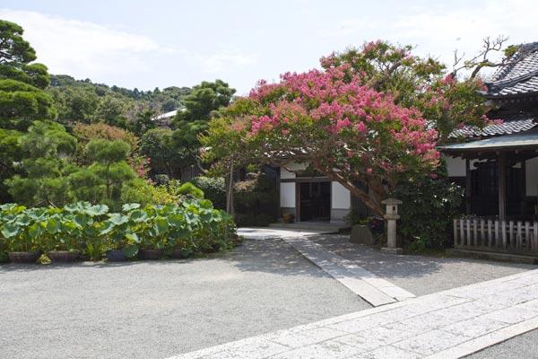 本覚寺の百日紅(サルスベリ)。足下には蓮が見られます。