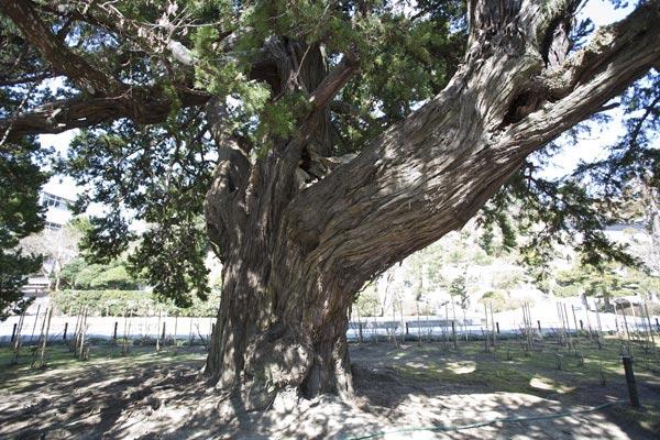 建長寺、開山の蘭渓道隆手植えのビャクシン。樹齢750年にもなる大木です。