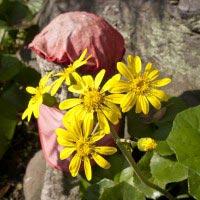 宝戒寺の石蕗(ツワブキ)。花の多い宝戒寺でもこの時期は花が少なく、一層目立ちます。