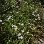光則寺本堂左手にある池にそって著莪(シャガ)が咲きます。