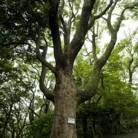 源氏山の楠(クスノキ)。管理事務所付近にあります。幹周は2m80cm。