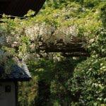浄妙寺の白藤(シロフジ)。本堂左手にあります。近くには同じ季節、牡丹が咲きます。