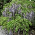 長谷寺の藤。階段を上ったところにあります。