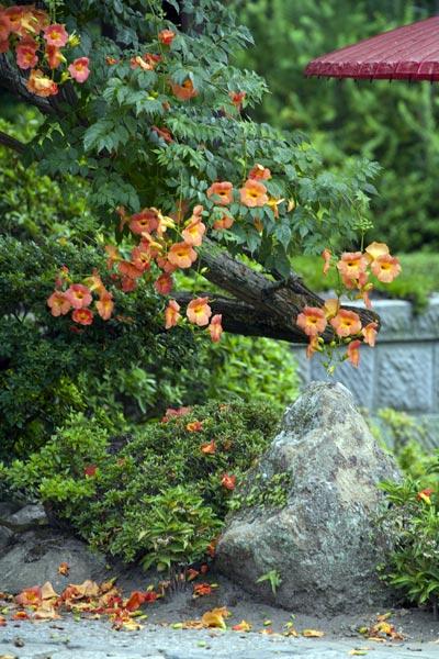 海蔵寺の凌霄花(ノウゼンカズラ)。蔓性の凌霄花は垂れ下がる様が魅力的です。
