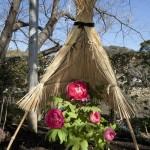 神苑牡丹園の冬牡丹(フユボタン)。鶴岡八幡宮境内、源氏池を囲むようにあります。